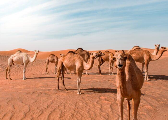 hello camels