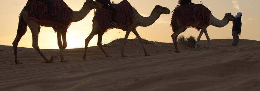 Camel and Sunrise Dubai